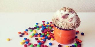Darcy The Cutest Hedgehodge Ever